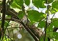 Rusty-tailed Flycatcher (Muscicapa ruficauda) (39608368152).jpg