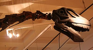 Cetiosaurus - Neck vertebrae and restored skull of the Rutland C.oxoniensis