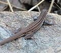 SONORAN SPOTTED WHIPTAIL Aspidoscelis sonorae - Flickr - gailhampshire (1).jpg