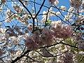Saint Petersburg. Chinese Garden. Sakura tree2019 01.jpg
