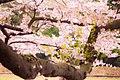 Sakura Kinuta Park (139250471).jpeg