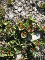 Salix herbacea004.JPG