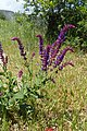 Salvia nemorosa kz07.jpg
