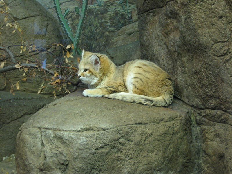 Kép:Sand cat (Cincinnati Zoo).jpg