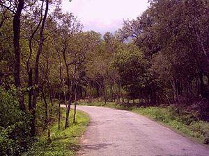 Sandalwood Santalum album forest, Marayoor, Kerela