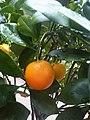 Sapindales - Citrus sinensis - 10.jpg