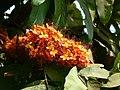 Saraca asoca (Roxb.) Willd. (420111730).jpg