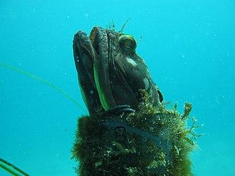 Artificial reef - Man made objects provide hiding places for marine life, like this Sarcastic fringehead