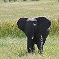 Savannah elephant.jpg