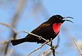 Scarlet-chested sunbird, Chalcomitra senegalensis, at Lake Chivero, Harare, Zimbabwe - male (21680812730).jpg