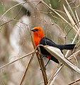 Scarlet-headed Blackbird (Amblyramphus holosericeus) - 48208488346.jpg