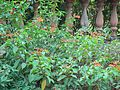 Scarlet Bush (348623682).jpg