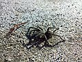 Scary spider in Finikoudes beach - panoramio.jpg