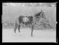 Schabrak, på häst utomhus - Livrustkammaren - 79768.tif