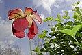 Schlauchpflanzenblüte (Kanivore).jpg