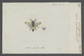 Scolia - Print - Iconographia Zoologica - Special Collections University of Amsterdam - UBAINV0274 043 05 0022.tif