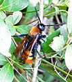 Scolia flavifrons male up.jpg