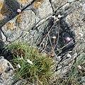 Sea Thrift (Armeria maritima) - Nesodden, Norway 2020-09-20 (03).jpg