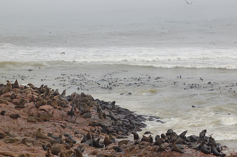 file seals at cape cross namibia 3045701237 jpg wikimedia commons. Black Bedroom Furniture Sets. Home Design Ideas