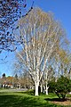 Seattle - Birches near the Ceramic and Metal Arts Building, University of Washington - 02.jpg