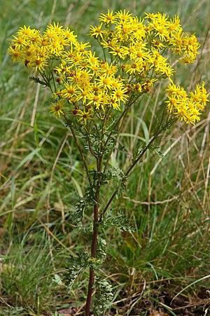 Jacobaea - Jacobaea vulgaris
