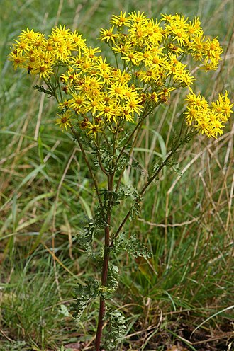 Jacobaea vulgaris - Ragwort thou humble flower