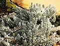 Senecio haworthii specimen - Kirstenbosch.jpg
