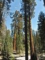 Sequoia P4250890.jpg