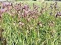 Serapias parviflora no parque da cidade de Viana do Castelo.jpg
