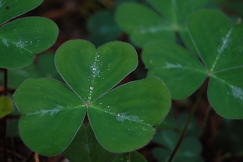 File:Shamrock leaf.jpg