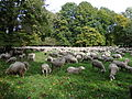 Sheep Graze in Englischer Garten - Munich - Germany.jpg