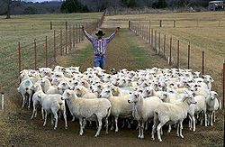 http://upload.wikimedia.org/wikipedia/commons/thumb/e/e7/Sheep_herding,_Arkansas.jpg/250px-Sheep_herding,_Arkansas.jpg