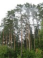Sheremetyevo forest. The pinery. July 2010. - Шереметьевский лес. Сосны. Июль 2010. - panoramio.jpg