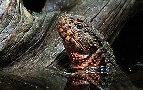 Shinisaurus crocodilurus krokodilschwanz höckerechse.jpg