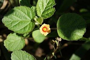 300px-Sida_cordifolia_top.jpg