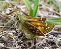 Silver-spotted Skipper, male. Hesperia comma - Flickr - gailhampshire (2).jpg