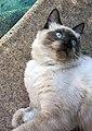 Simba ragdoll cat.jpg