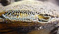 Siphon (mollusc) Unionidae Lamiot Lille 2353 copie.jpg