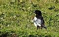 Skata Common Magpie (20325141636).jpg