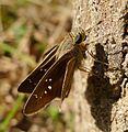 Small Branded Swift. Pelopidas mathias. Hesperidae - Flickr - gailhampshire.jpg