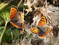 Small Coppers Lycaena phlaeas - Flickr - gailhampshire.jpg