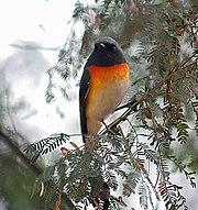 Small Minivet (male)common resident