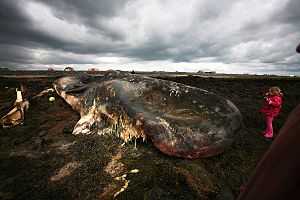 Environmental impact of shipping - Carcass of a whale on a shore in Iceland.