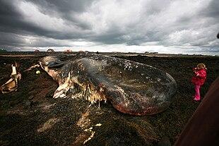 Carcassa di grosso cetaceo spiaggiato sulla costa islandese
