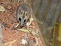 Sminthopsis macroura.jpg