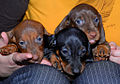 Smooth Dachshund puppies.jpg