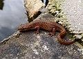 Smooth Newt. Lissotriton vulgaris (33135965681).jpg