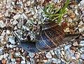 Snail (27404277153).jpg
