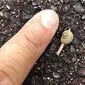 Snail being tha same size as fingernail.jpg