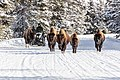 Snowmobiles passing bison on the road (f3a9fa38-3377-469b-8919-1cfaf4857c0d).jpg